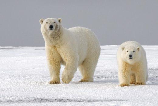 polar bears extinct