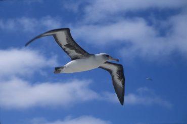 albatrosses illegal fishing