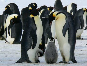 new emperor penguin colonies