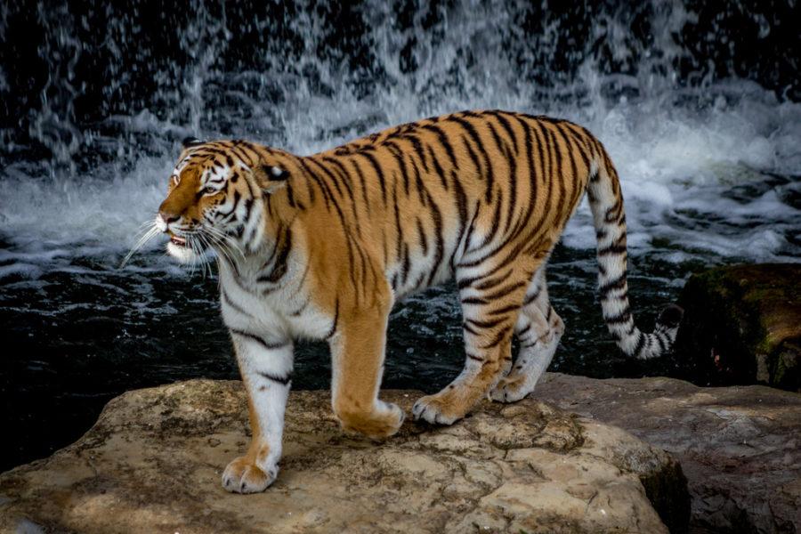 tiger roads