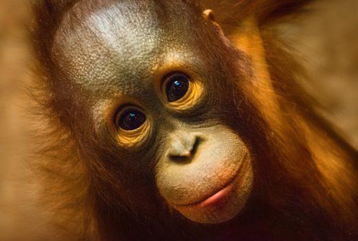 Orangutans future
